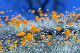 California Poppies in Yosemite National Park