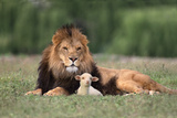Lion Sitting down with Lamb