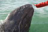 Hand Reaching out to Touch Gray Whale off Boat
