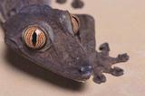 Madagascar Leaf-Tail Gecko