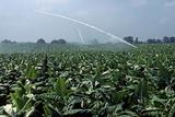 Watering of Tobacco Plantation  Lexington  Kentucky  Usa  August 1984