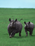 Mother and Baby Rhinoceroses Running
