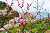 Spring Blooming Cherry Tree with Background Scenic View of Colorful Houses of Manarola Village  Cin