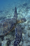 Green Sea Turtle Swimming in Ocean