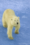 Polar Bear Looking Up