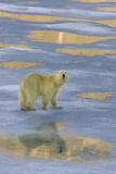 Polar Bear Walking on Ice