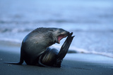 South Georgia Fur Seal