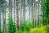 Beautiful Pine Tree Forest  Abstract Natural Background  Misty Woods in the Morning  Amazing Nature