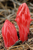 Flower Heads of Snow Plant