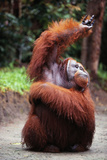 Orangutan Reaching Up
