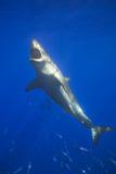 Shark Swimming with School of Fish