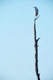 White Egret on Tall Snag