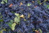 Grapes from Australian Vineyard