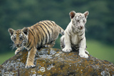 Bengal Tiger Cubs Perched on Rock