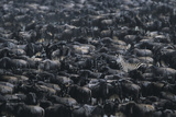 Zebra among Wildebeest Herd