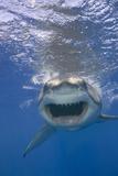 Shark Advancing with Bared Teeth