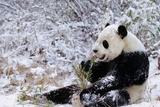 Giant Panda Eating in Snow - Wolong Nr  China