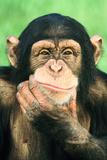 Pensive Chimpanzee