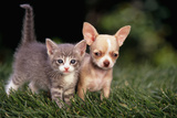 Kitten and Chihuahua Puppy