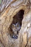 Eastern Screech-Owl in Tree