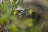 Tortoise Peering through the Leaves