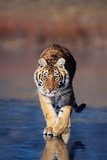 Tiger Walking on Wet Surface