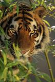 Bengal Tiger behind Bamboo Papier Photo par DLILLC