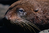 Closeup of Resting Seal