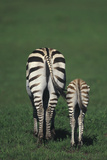Hindquarters of Mare Zebra with Foal