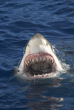 Great White Shark Baring Teeth