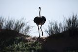 An Ostrich Crests a Dune