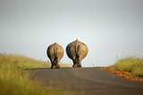 White Rhinos Walking on Road  Rietvlei Nature Reserve