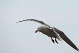Dolphin Gull