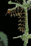 Hypolimnas Bolina (Great Eggfly  Blue Moon Butterfly) - Caterpillar with Orange Spines