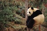 Giant Panda Sitting in a Tree - Wolong Nr  China