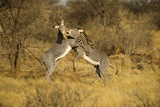 Grevy's Zebra Fighting