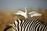 Cattle Egret on Zebra