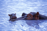Adult and Baby Hippos in Water