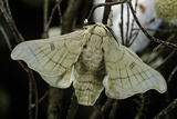 Bombyx Mori (Common Silkmoth)