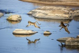 Baboons Jumpi over River