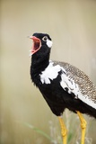Black Korhaan Crowing