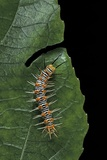 Philaethria Dido (Scarce Bamboo Page  Green Heliconia Butterfly) - Caterpillar