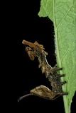 Stauropus Fagi (Lobster Moth  Lobster Prominent) - Caterpillar