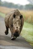White Rhino Cow Charging