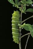 Rothschildia Jacobaeae (Silkmoth  Saturniid Moth) - Caterpillar