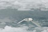 Snow Petrel