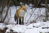 Red Fox Foraging