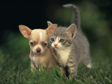 Chihuahua Puppy and Grey Kitten