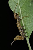 Stauropus Fagi (Lobster Moth  Lobster Prominent) - Caterpillar Feeding on Leaf