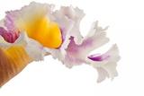 Cattleya Ibrid